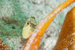 BD-111128-Raja-Ampat-5465-Pseudobalistes-flavimarginatus-(Rüppell.-1829)-[Yellowmargin-triggerfish].jpg